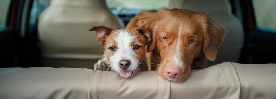 2 Hunde schauen über die Rückbank aus dem Auto
